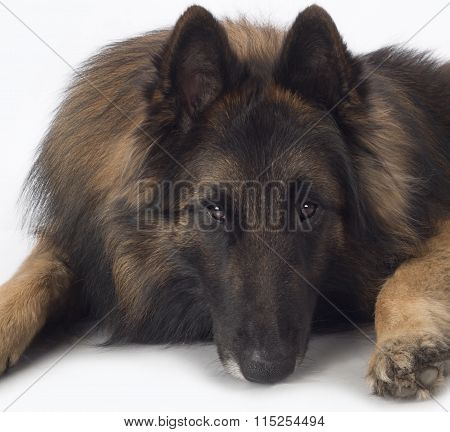 Dog, Belgian Shepherd Tervuren, Close Up Head