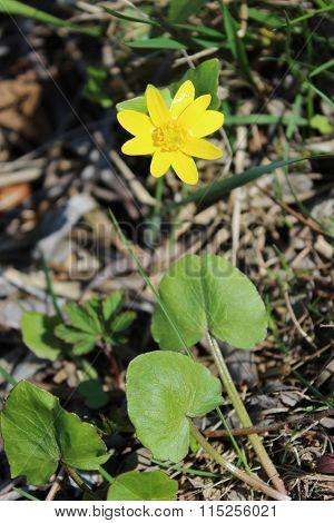 Flowers Of Lesser Celandine