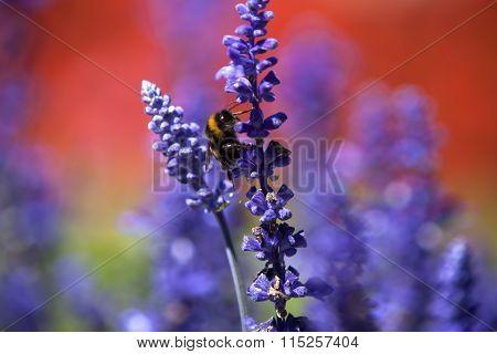 Closeup Of A Bumblebee In A Field Of Purple Salvia