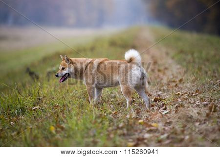 Female Shiba Inu Dog