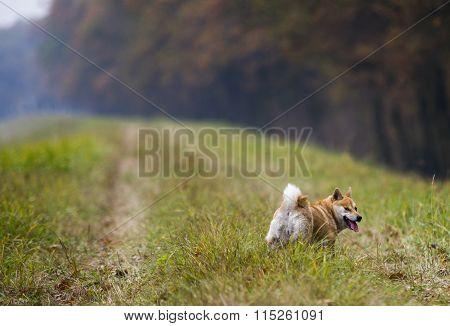 Funny Female Shiba Inu Dog