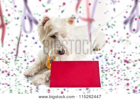 west highland white terrier on Carnival background looking at red post card.