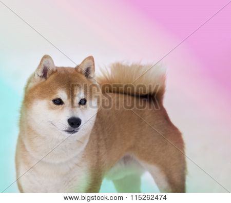 Shiba Inu Dog On Color Background