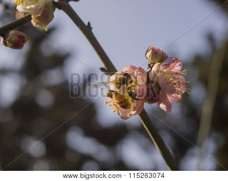 Plum Flower Blossom In Taiwan