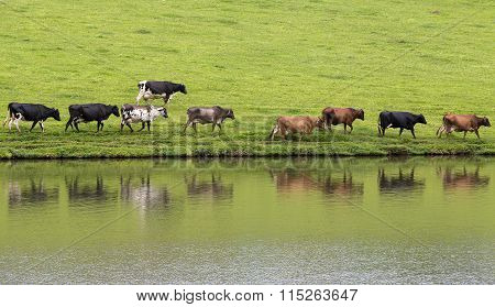 Cows In Line