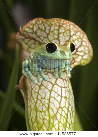 Tree Frog on White Pitcher Plant