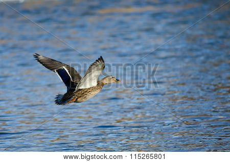 Mallard Duck Flying Low Over The Blue Water