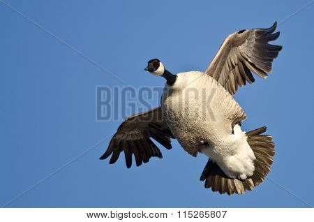 Plump Canada Goose Flying In A Blue Sky