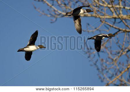 Three Common Goldeneye Ducks Flying Past A Winter Tree