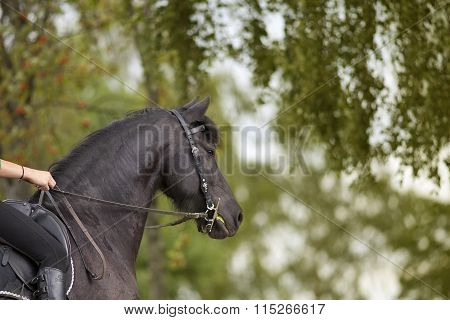 Horse riding outside with black frisian in summer