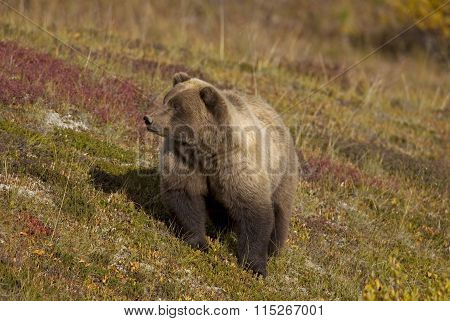 Brown Bear in Field