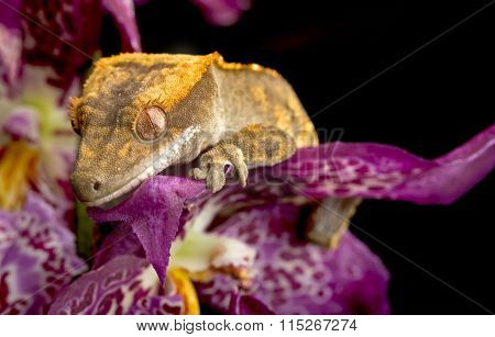 Crested Gecko on Purple Orchid