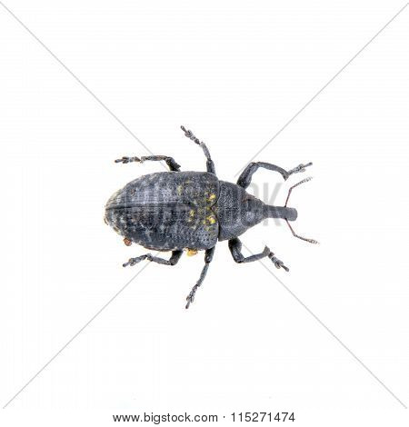 Black Bug With Yellow Dots On A White Background