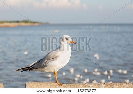Seagull At Bangpu