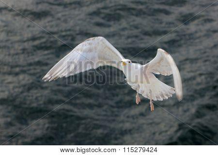 Portrait Of A Seagull In Flight