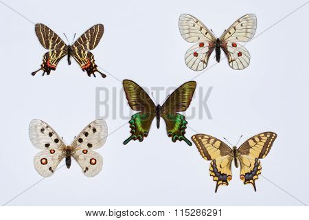 Collection Of Swallowtail Butterflies