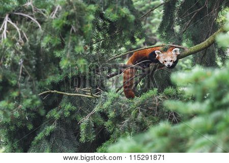 Red Panda Vulnerable Species Of Animals Resting On Conifer Tree Branches