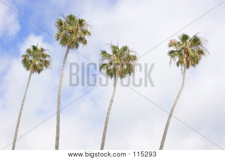 Californian Palms