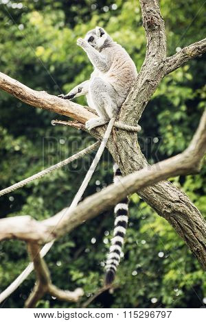 Ring-tailed Lemur Sitting On The Tree Branch, Humorous Scene