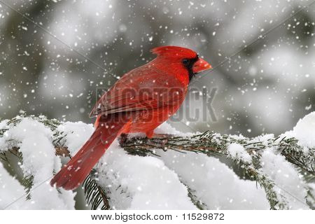 Cardinal In A Snow Storm