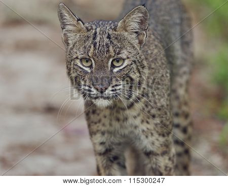 Florida Bobcat,Close Up Shot