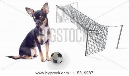 Cute Chihuahua Dog Will Make A Goal