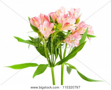 Bouquet Of Pink Alstroemeria