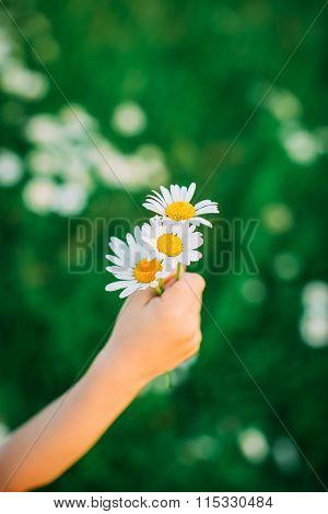 Camomile In The Hand