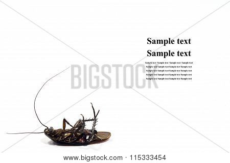 Dead Of A Cockroach.isolated On A White Background And Space For Text In A Right Side.