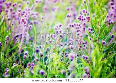 Summer field with violet flowers. Blured nature background