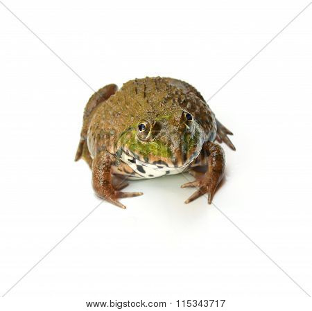 Frog On White background.