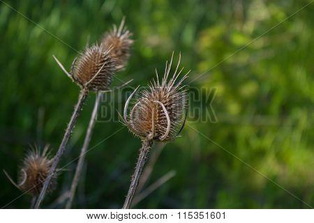 Dry Thistle Flowers