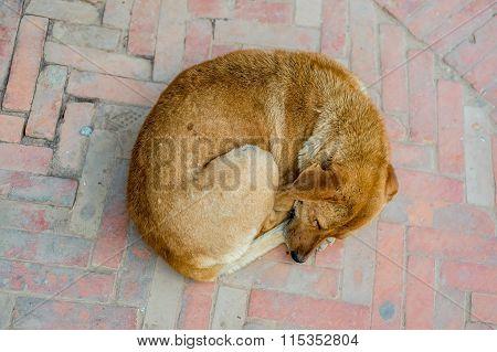 Dog Sleeping In Kathmandu, Nepal