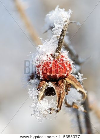 Red rowan berries covered with frost close up. Winter background