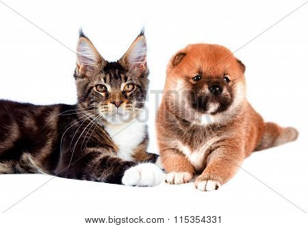 Cat and dog. Maine coon, shiba inu looking up with attention. Portrait on a white background. Isolat