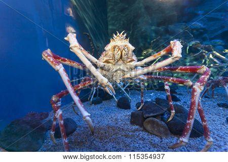 Big crab in aquarium tank