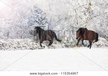 Horses Galloping In The Snow