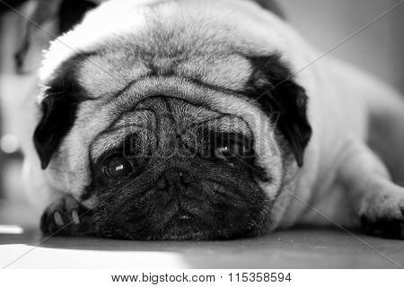 Saddest Pug Face Mono