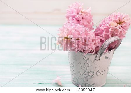 Fresh Pink Hyacinths Flowers In Bucket On Turquoise Painted Wooden Background Against White Wall.