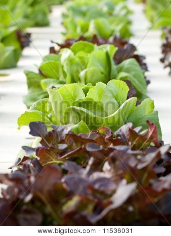 lettuce, the hydroponics vegetable