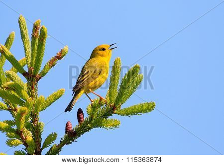 Male Yellow Warbler Singing on top of a Tree