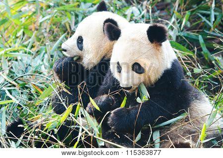 Two Giant Panda Bears eating bamboo,China