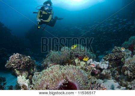 Diver Over Anemones And Clownfish
