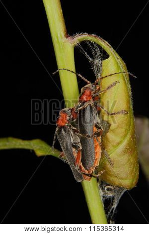 Soldier Beetle (cantharis Fusca)