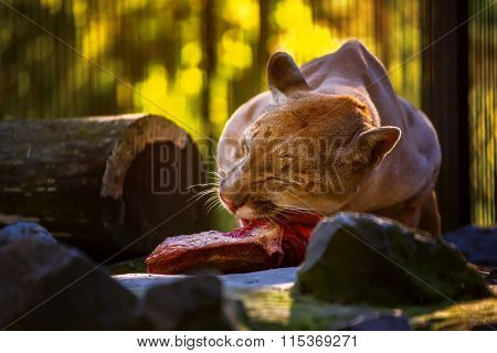 Puma eat meat. Novosibirsk Zoo