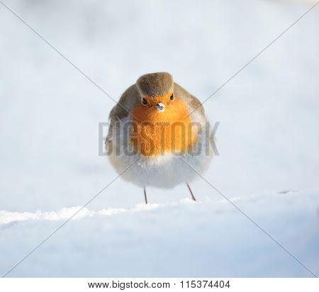 European Robin Snow Portrait