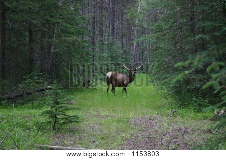 Elk Grazing In Bush