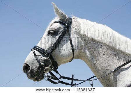 Head Shot Of A Sportive Racing Horse
