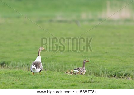Gooses with gosling in the grass fields