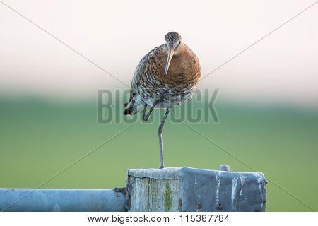 Black-tailed Godwit on pole in agricultural landscape